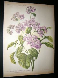 Amateur Gardening 1903 Botanical Print. Heliotrope or Cherry Pei Flower